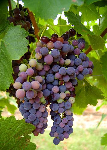 The Wine Region of Australia